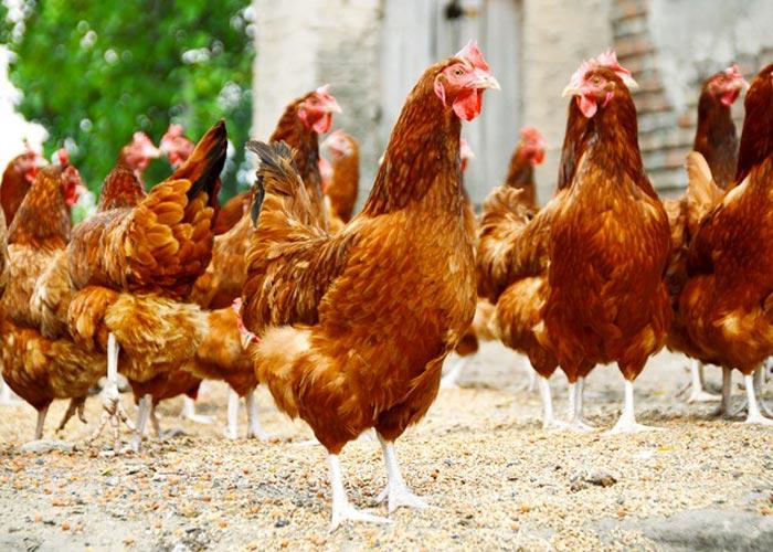 Découvrez la ferme avicole bio le Gaec du Pontot à Gevrey-Chambertin