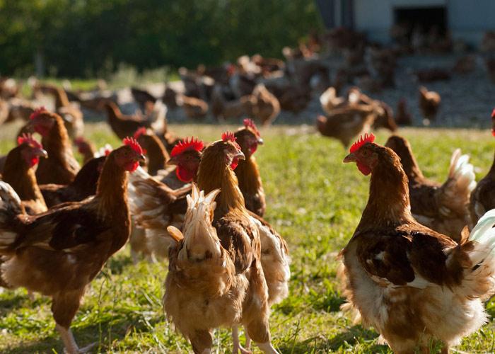Découvrez un élevage de poulets 100% bio